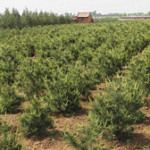 白皮松苗圃地的常用除草剂