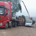 3.5米白皮松开始发往北京