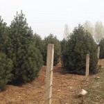 白皮松栽植后的养护管理技术