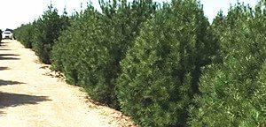 白皮松树的发展前景