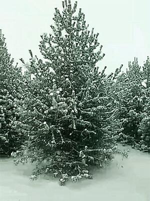 增强苗木抗寒能力的越冬防寒措施
