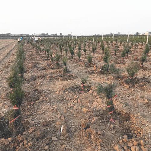 白皮松苗圃土壤消毒方法