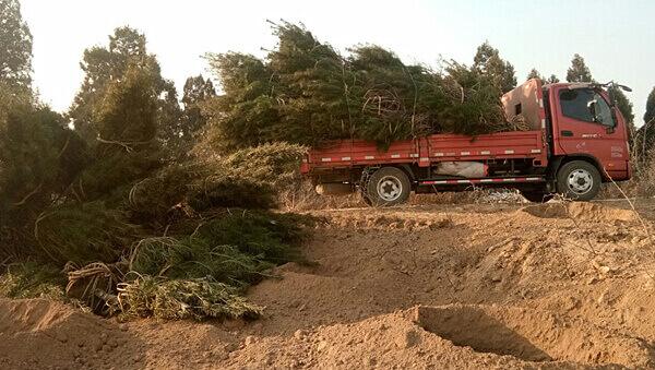 白皮松种植需要什么土壤?