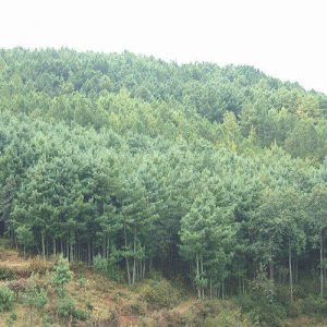 华山松的特征及园林应用
