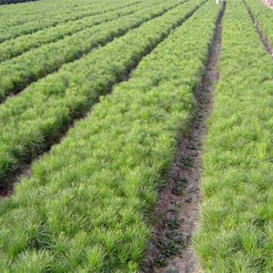 0.3米华山松营养袋苗