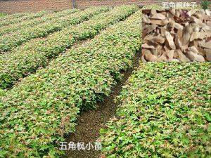 0.4米五角枫小苗