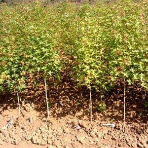 五角枫小苗栽植方法