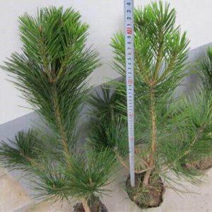 0.7米油松营养钵苗