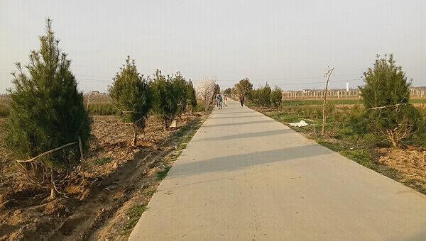 什么苗木是城乡行道树树种的最佳选择?