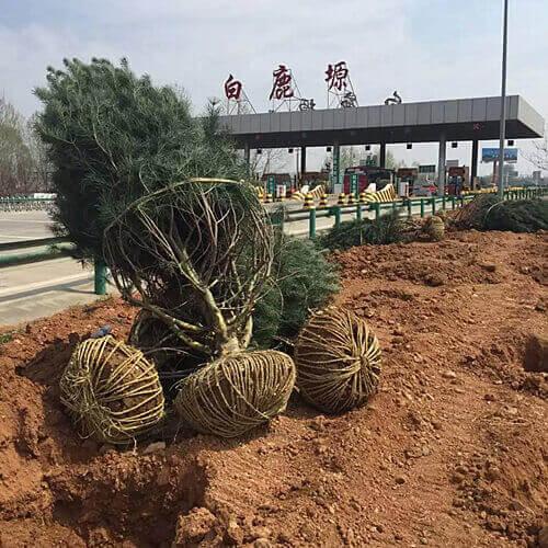 白皮松被用作行道树有什么基本要求?