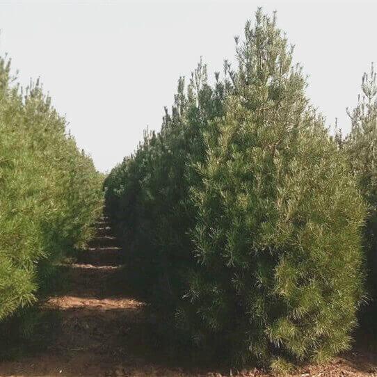 苗木绿化景观养护中的修剪常识