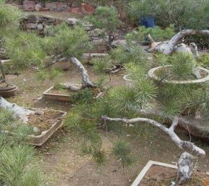 白皮松盆景造型修剪方法