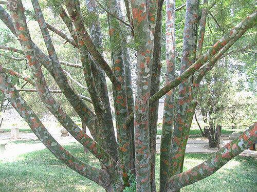 白皮松的白色树皮是怎样形成的?